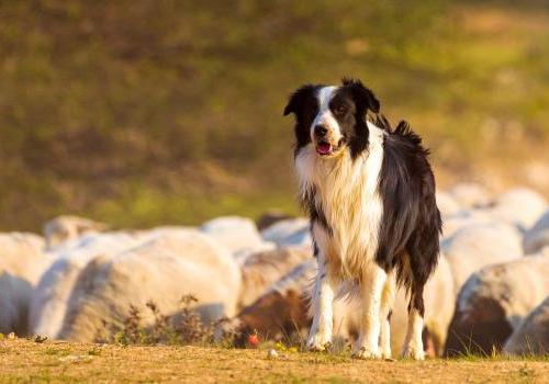 Concours chien de berger